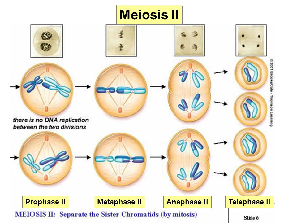 Two of meiosis diagram labeled electrical work wiring diagram lab 8 mitosis meiosis and chromosomes ppt video online download rh slideplayer com stages of meiosis in order simple diagram of meiosis ccuart Gallery