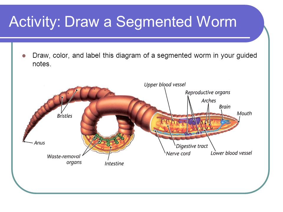 Simple Labeled Diagram Of A Worm - Online Schematic Diagram •