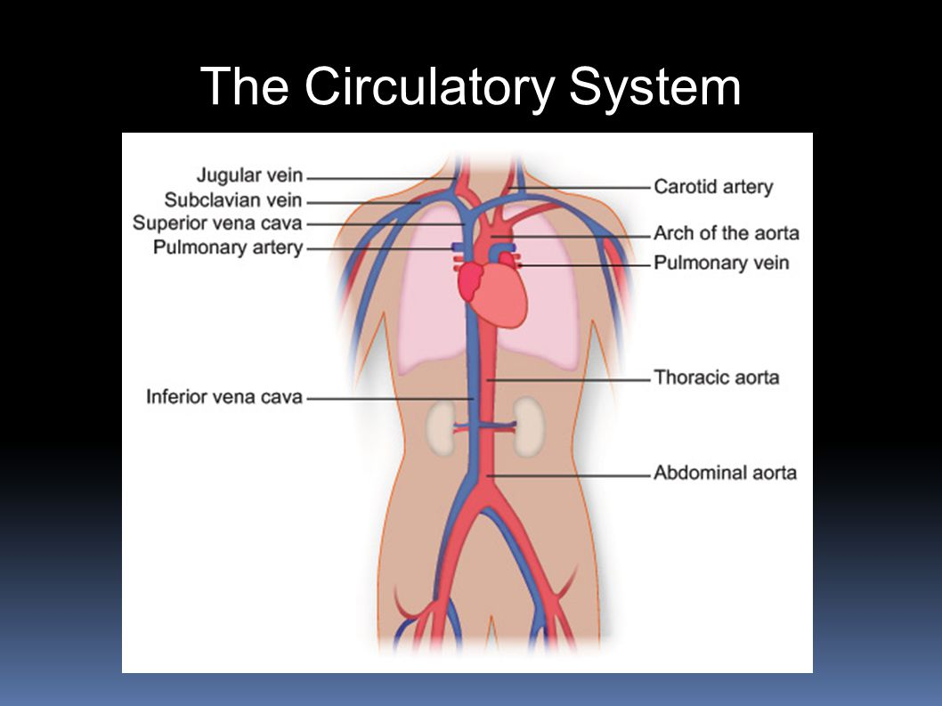 Chapter 34 Notes The Circulatory Respiratory And Excretory