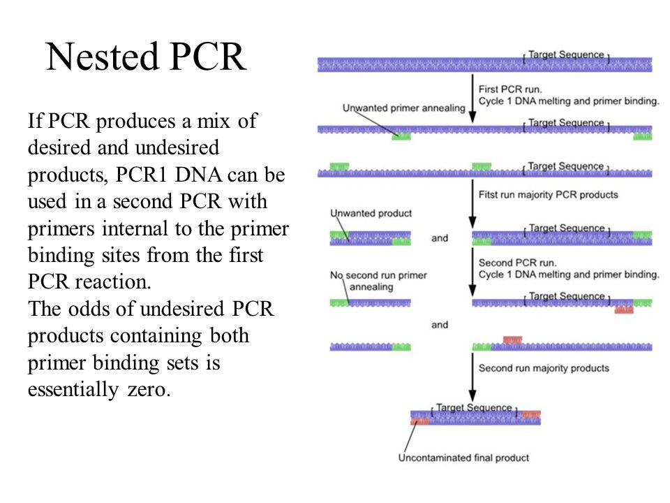 Amplification of DNA using the Polymerase Chain Reaction (PCR) - ppt video online download