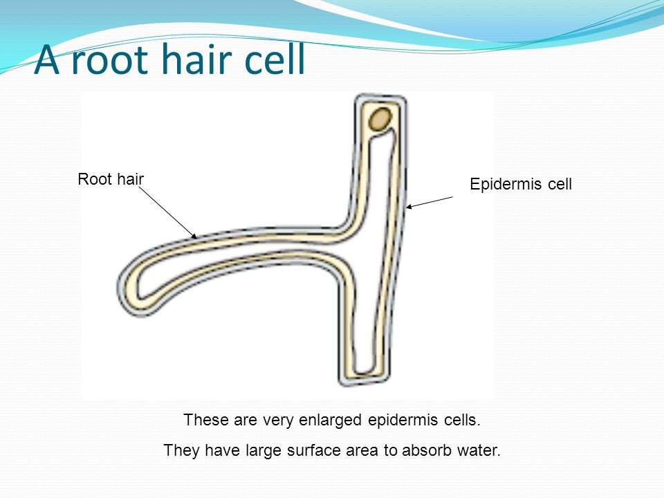 Root hairs diagram wiring exchange and transport ppt video online download root tip diagram a root hair cell root hair ccuart Gallery