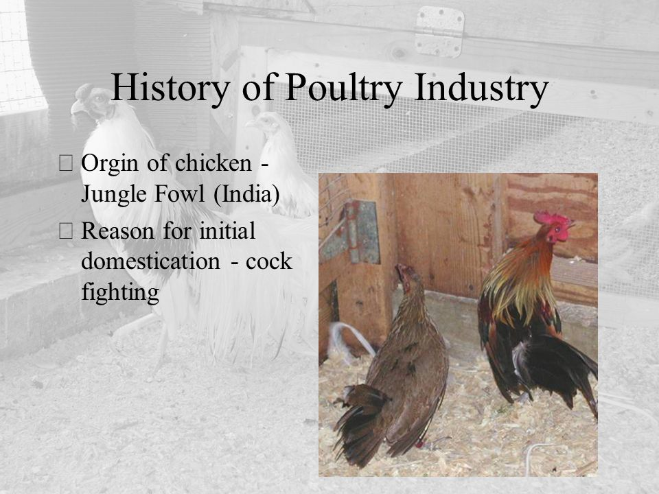 Breeders, Layers and Hatching Egg Production - ppt video online download