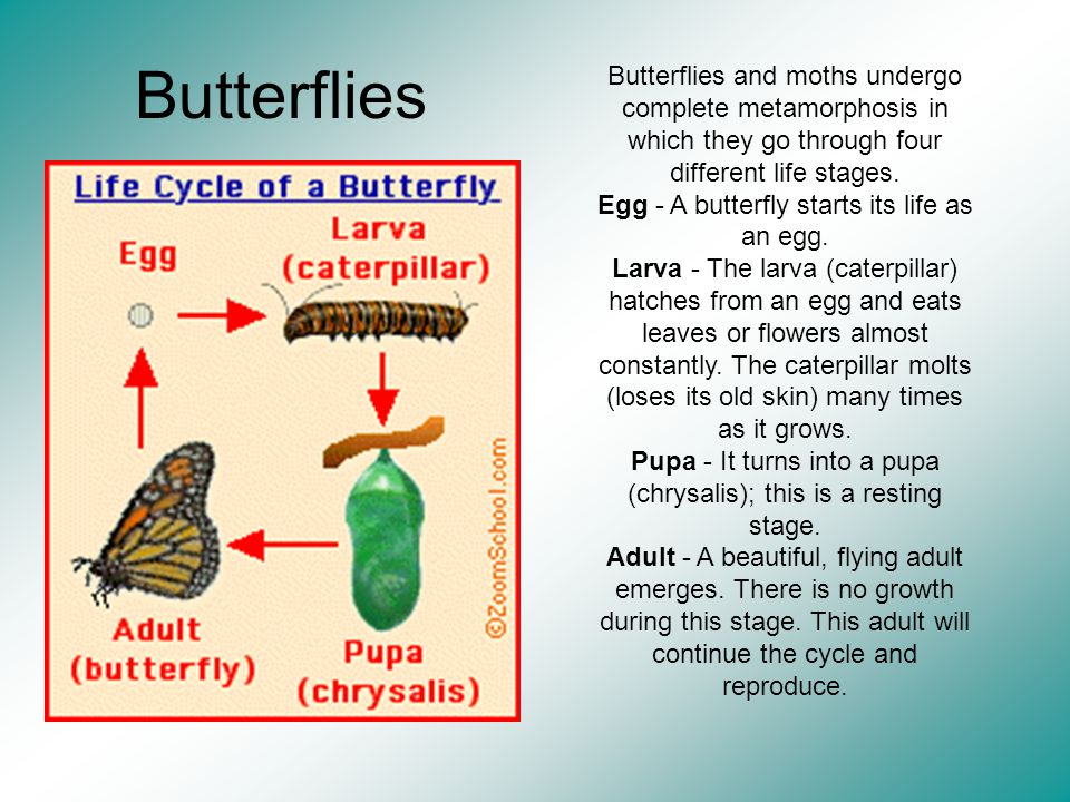 Butterflies Butterflies and moths undergo complete metamorphosis in which they go through four different life stages.