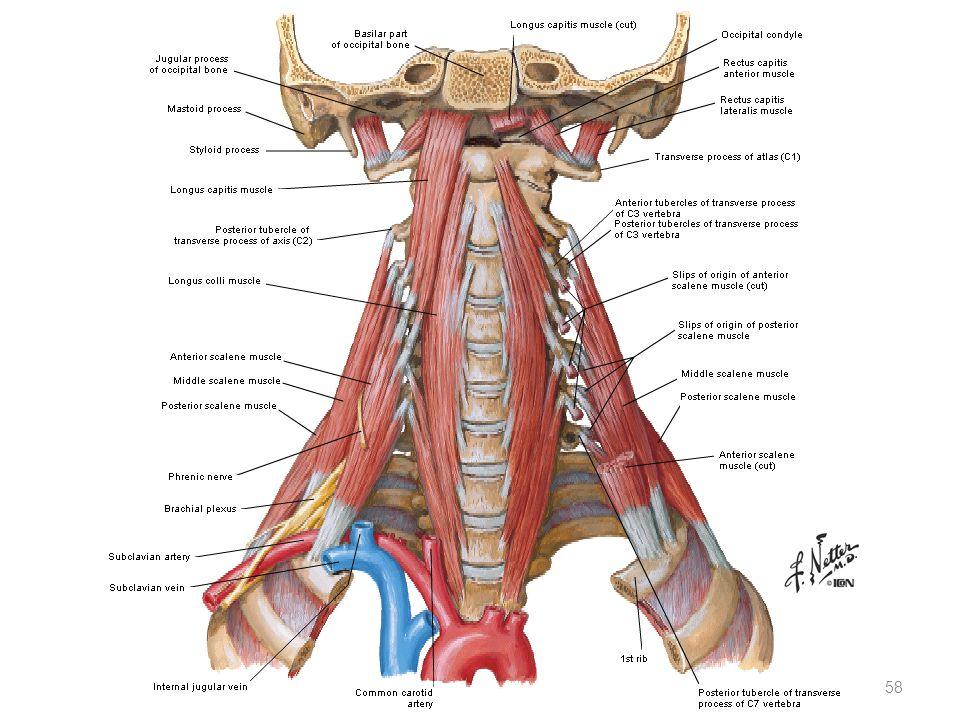 Gemütlich Scaleni Fotos - Menschliche Anatomie Bilder - madeinkibera.com