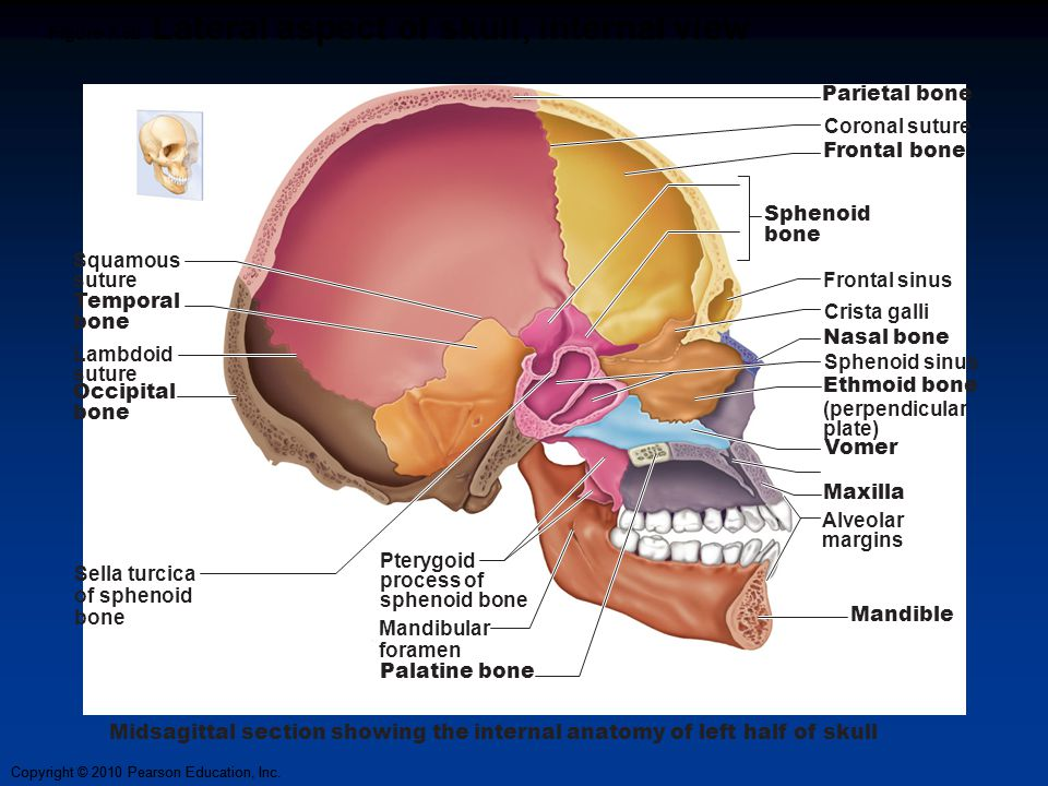 Axial Skeleton: The Skull Slides by Vince Austin; - ppt video online ...