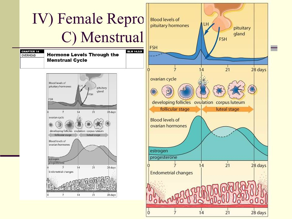 Iv female reproductive system b oogenesis ppt video online download 19 iv female reproductive system c menstrual cycle ccuart Images