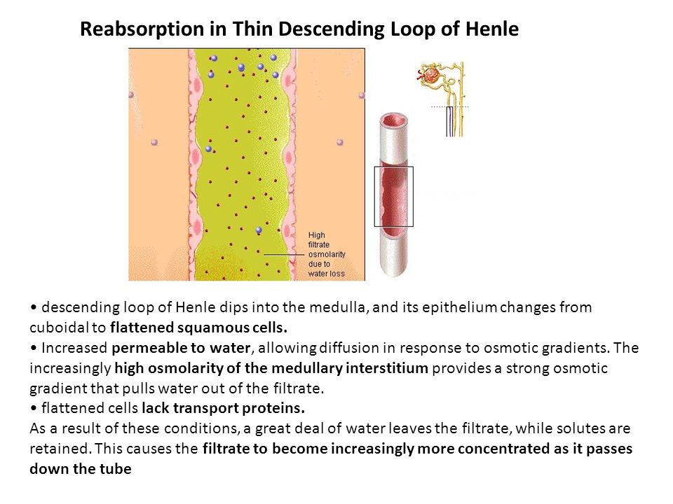 Reabsorption in Thin Descending Loop of Henle