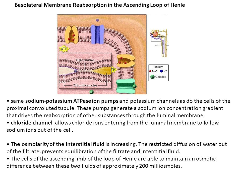 Basolateral Membrane Reabsorption in the Ascending Loop of Henle