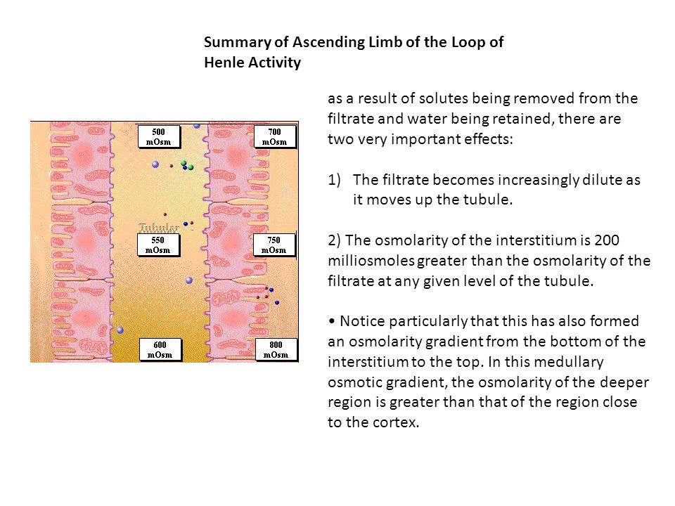 Summary of Ascending Limb of the Loop of Henle Activity