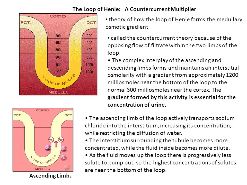 The Loop of Henle: A Countercurrent Multiplier
