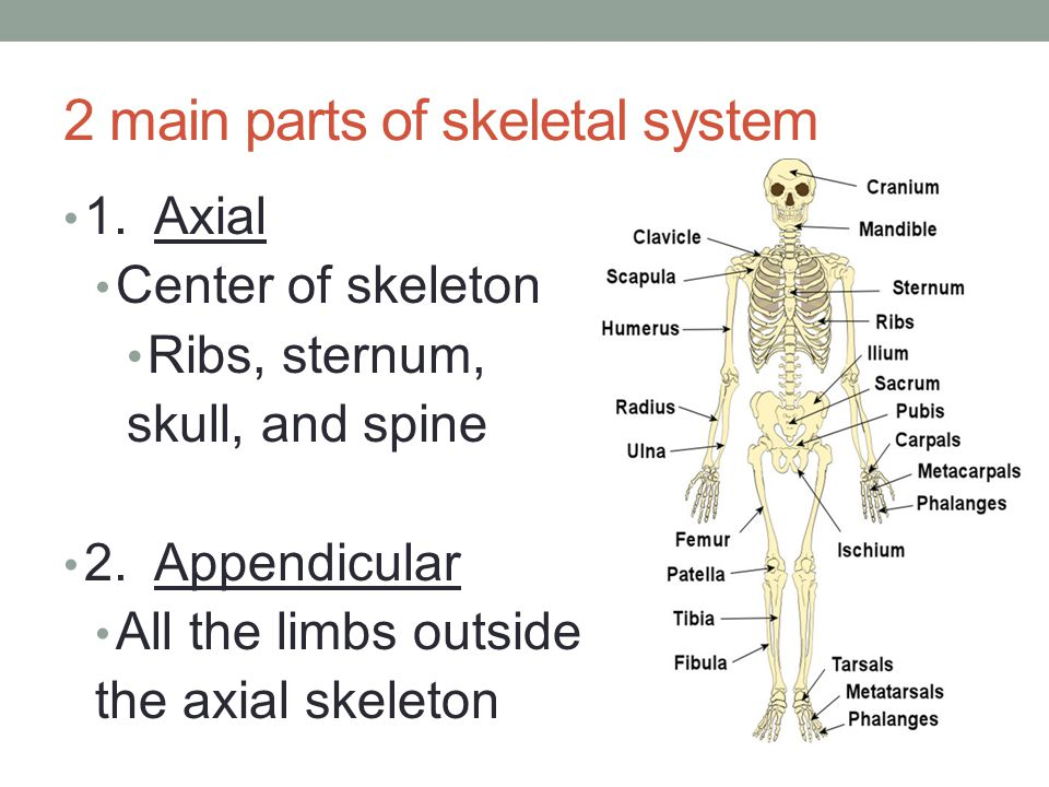 Fancy The Parts Of The Skeletal System Picture Collection - Anatomy ...
