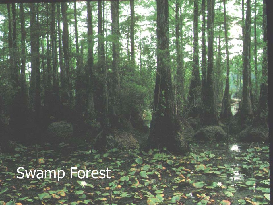 Swamp Forest January 2002