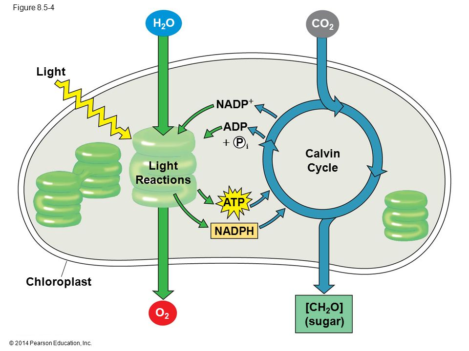introduction to photosynthesis Photosynthesis is the process used by plants, algae and certain bacteria to harness energy from sunlight into chemical energy there are two types of photosynthetic processes: oxygenic.