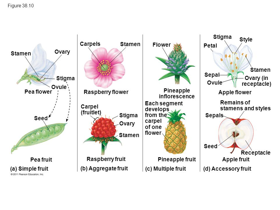 Raspberry Flower Diagram Product Wiring Diagrams
