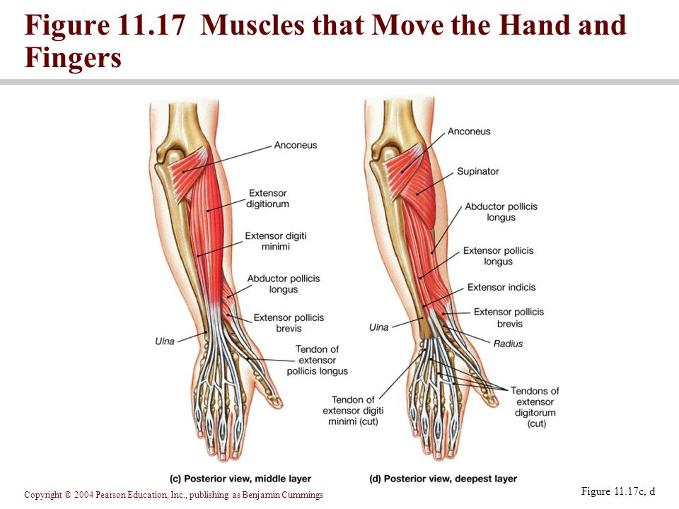 Muscles That Move The Hand Diagram Block And Schematic Diagrams