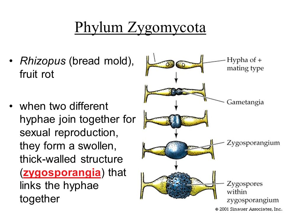 Zygomycota sexual reproductive structures