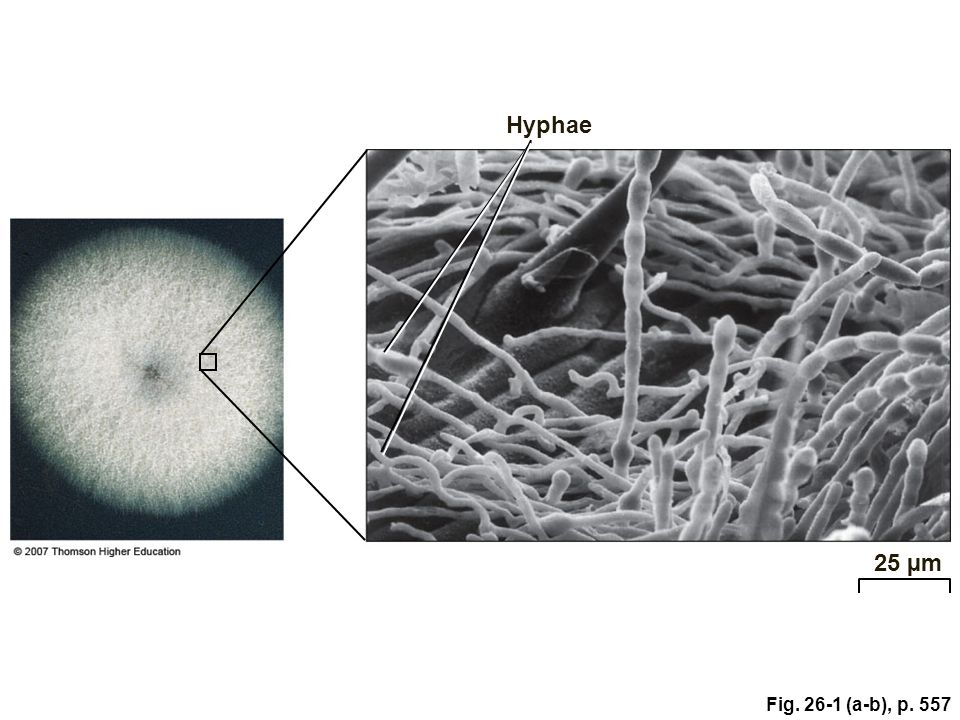 Hyphae Figure 26.1: Fungus body plan. 25 µm Fig (a-b), p. 557