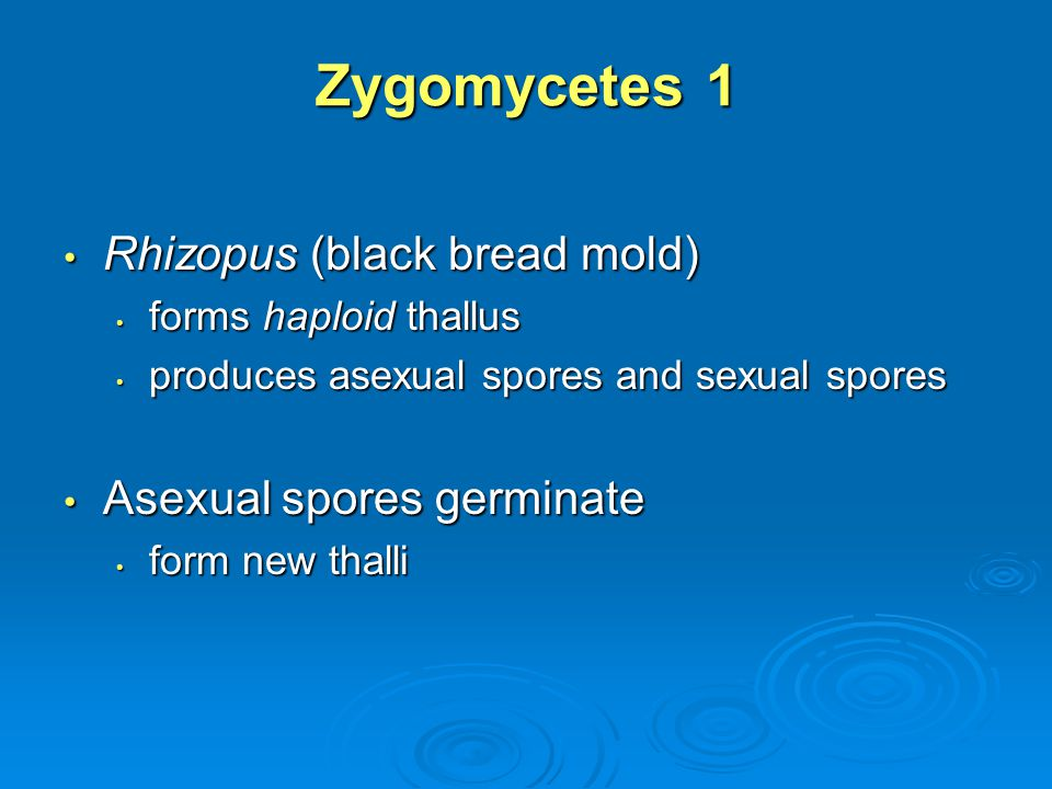 Zygomycetes 1 Rhizopus (black bread mold) Asexual spores germinate