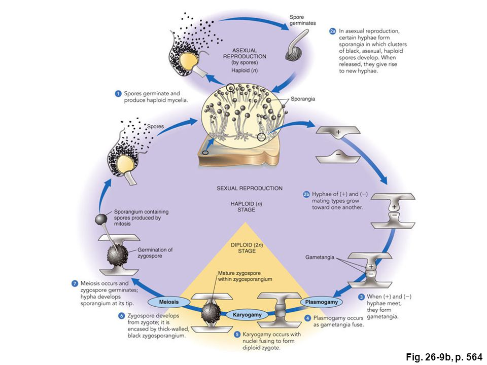 Figure 26.9: Life cycle of the black bread mold (Rhizopus stolonifer), a zygomycete.