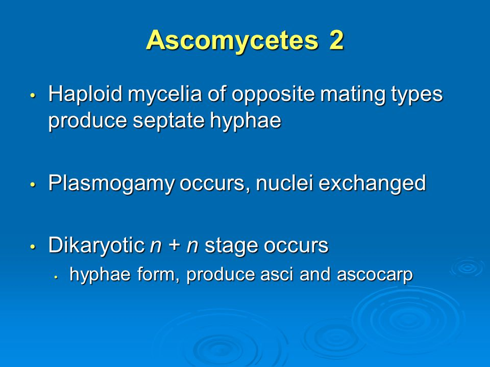 Ascomycetes 2 Haploid mycelia of opposite mating types produce septate hyphae. Plasmogamy occurs, nuclei exchanged.