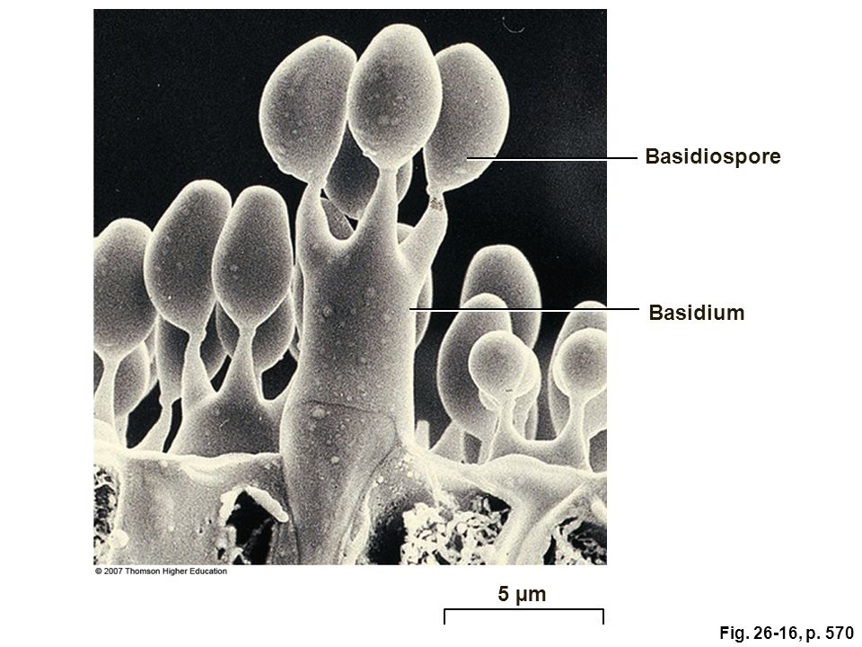 Basidiospore Basidium 5 µm Fig , p. 570