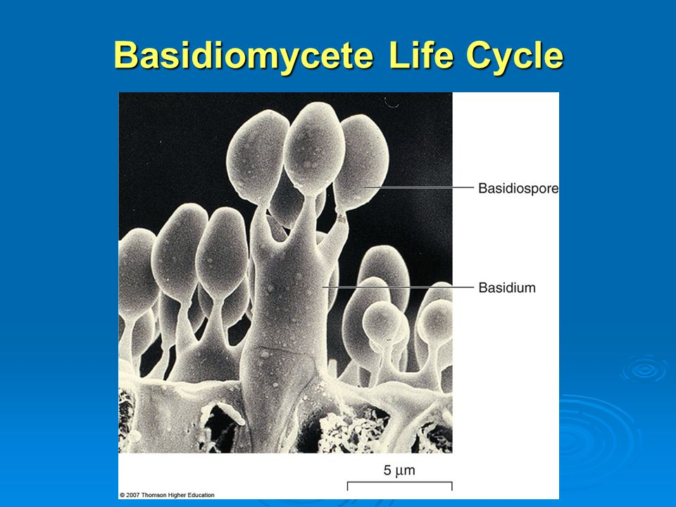 Basidiomycete Life Cycle