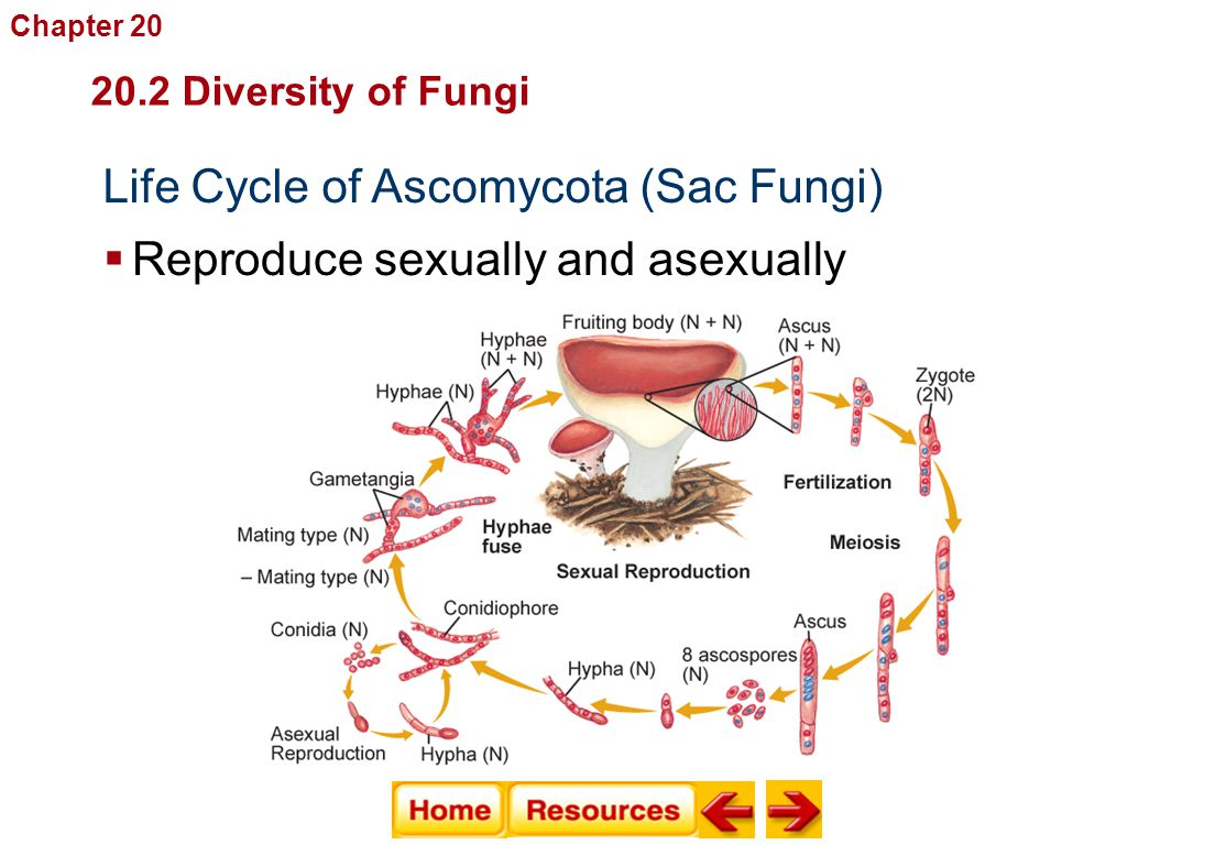 Sexual Life Cycles