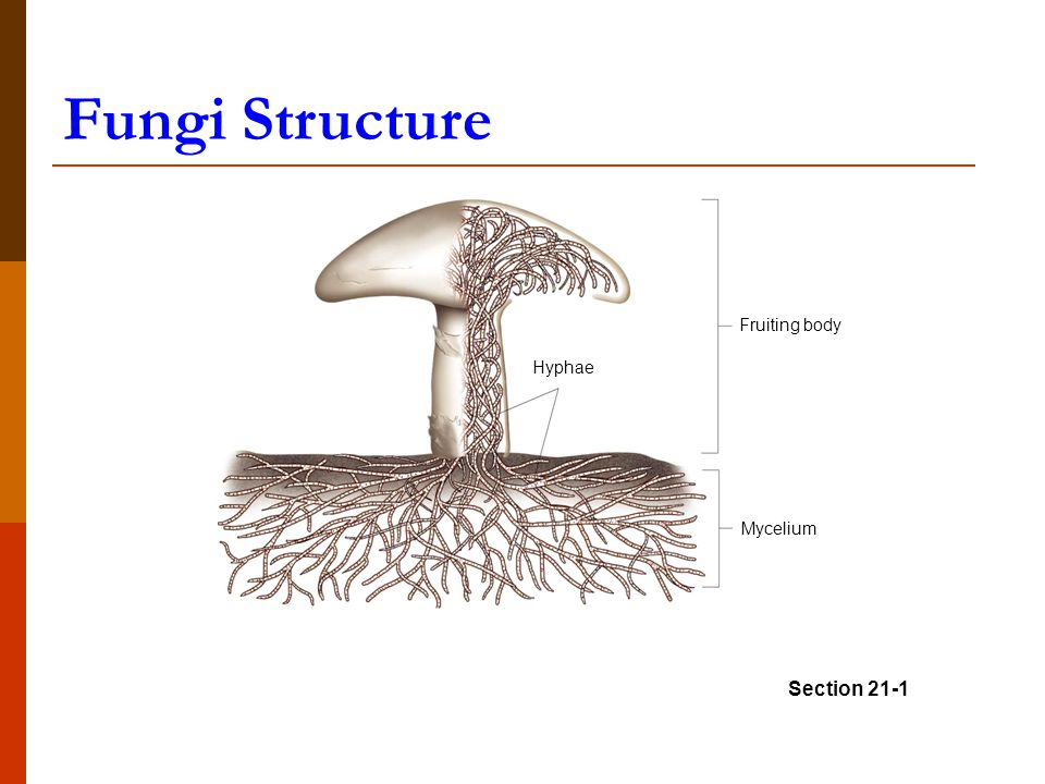 Fungi Structure Diagram Reinvent Your Wiring Diagram