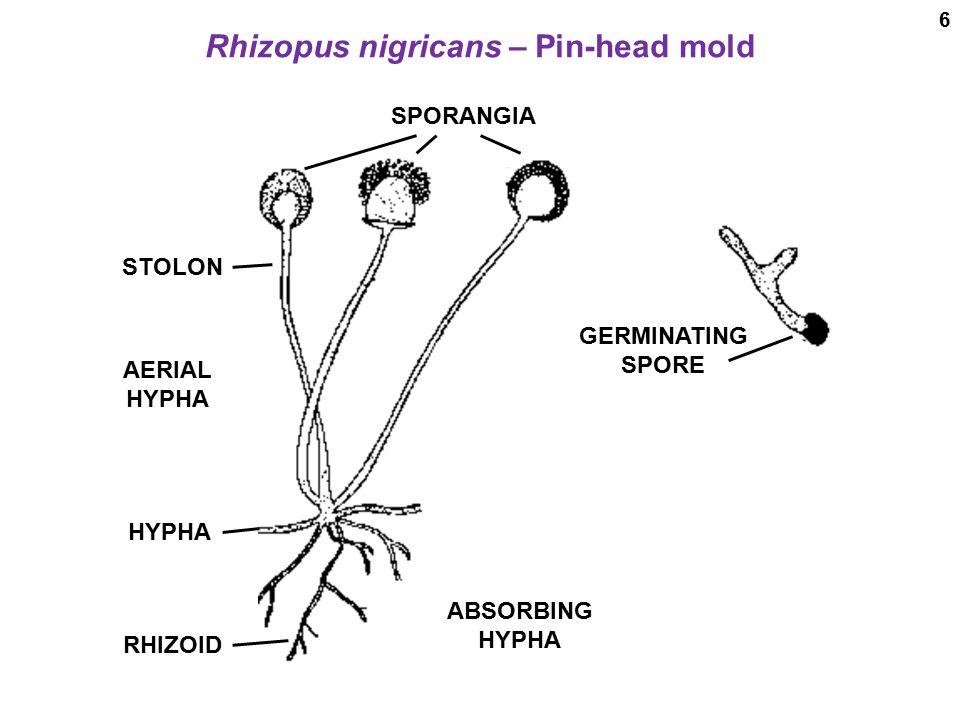 rhizopus diagram labeled - 960×720