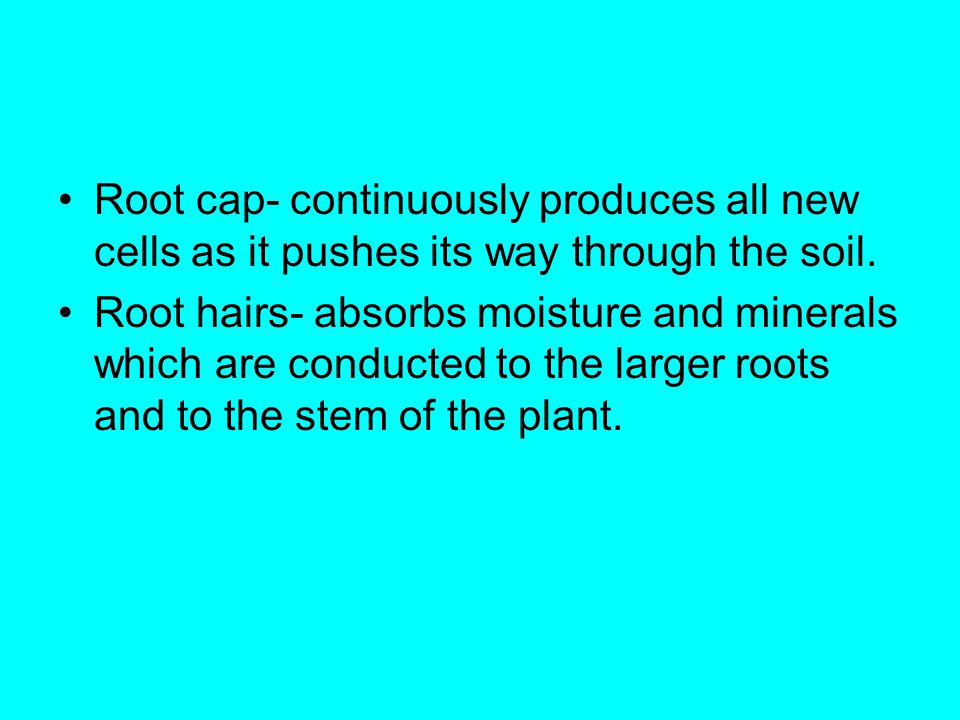 Root cap- continuously produces all new cells as it pushes its way through the soil.