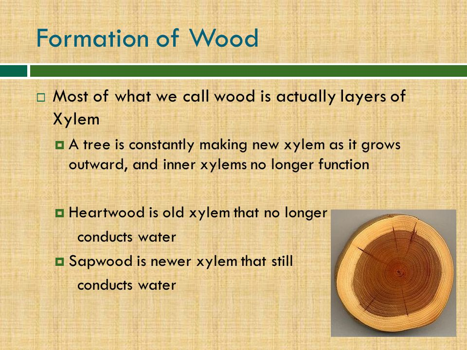 Formation of Wood Most of what we call wood is actually layers of Xylem.