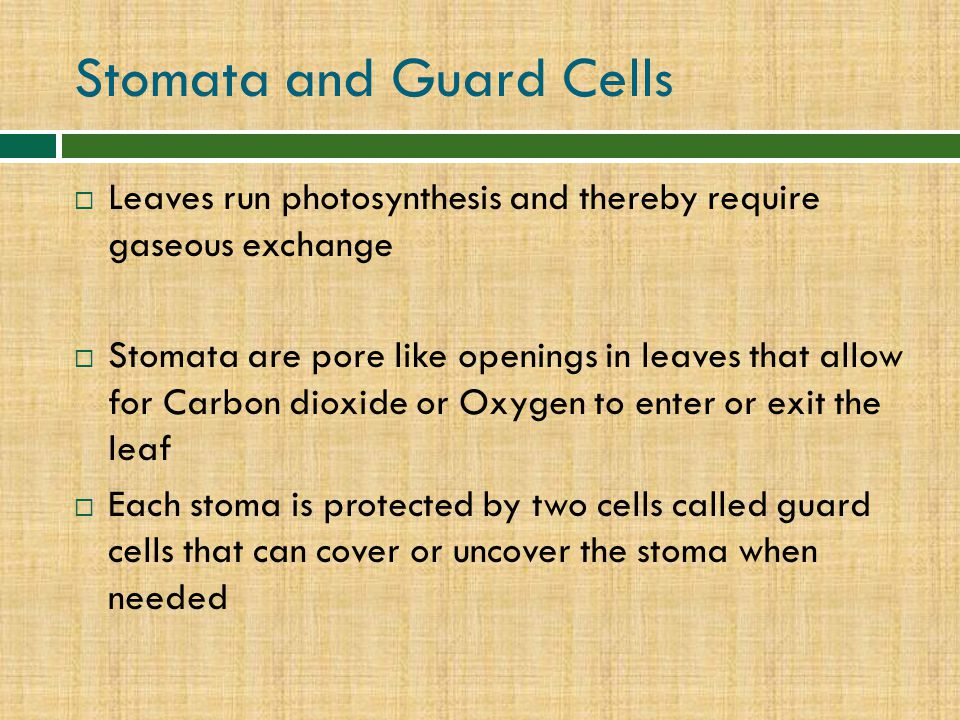 Stomata and Guard Cells