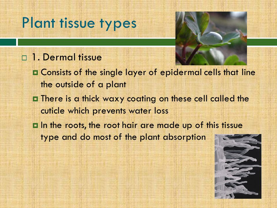 Plant tissue types 1. Dermal tissue