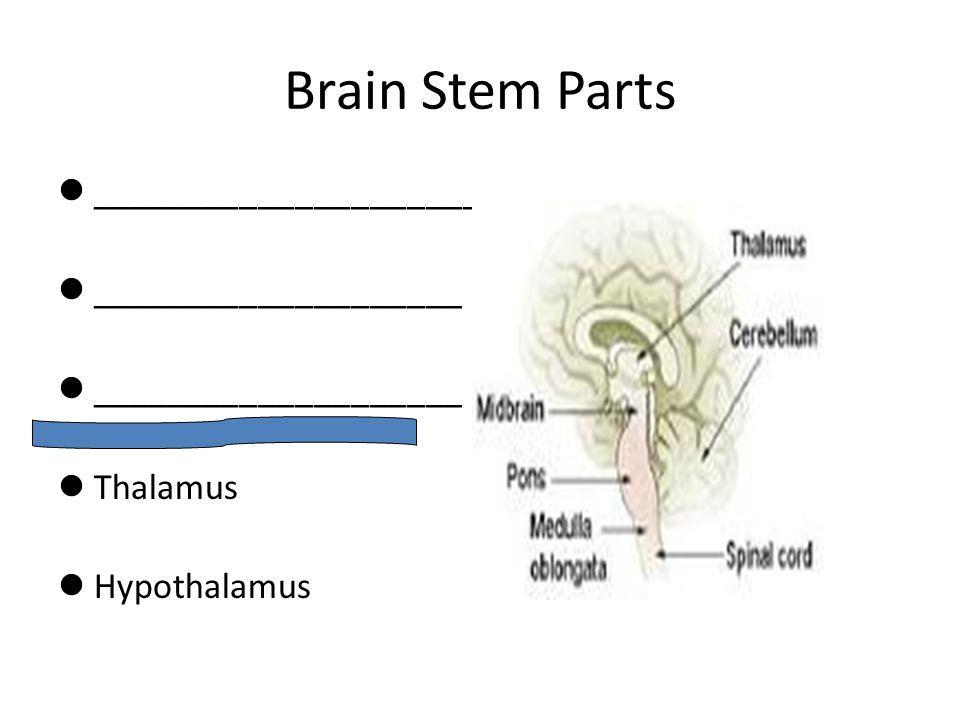 Brain Stem Parts _______________________ ____________________ Thalamus