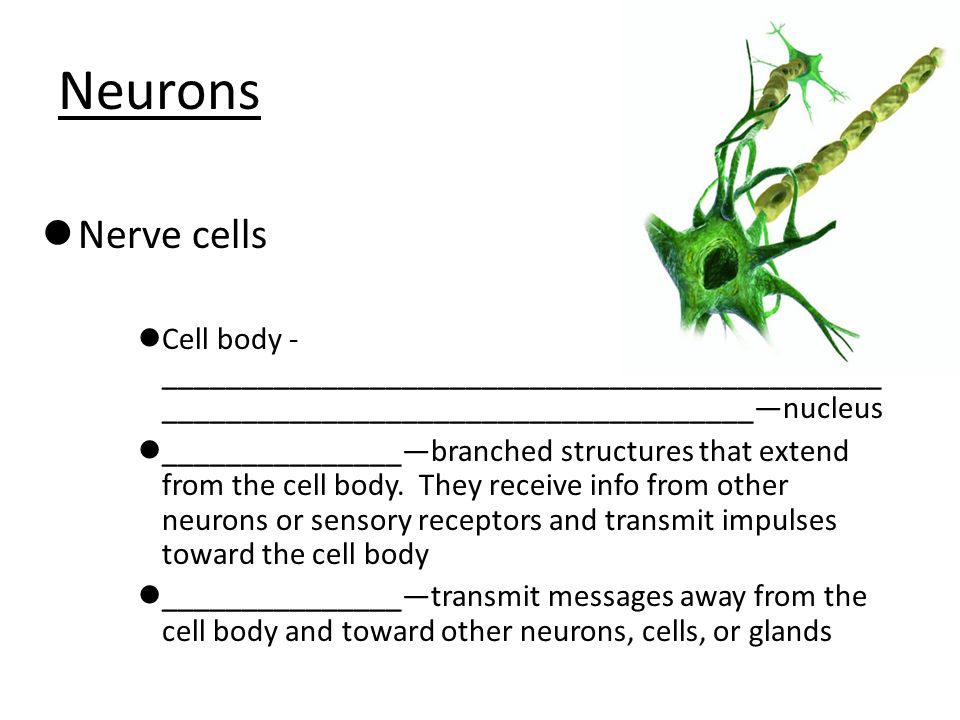 Neurons Nerve cells. Cell body -__________________________________________________________________________________—nucleus.