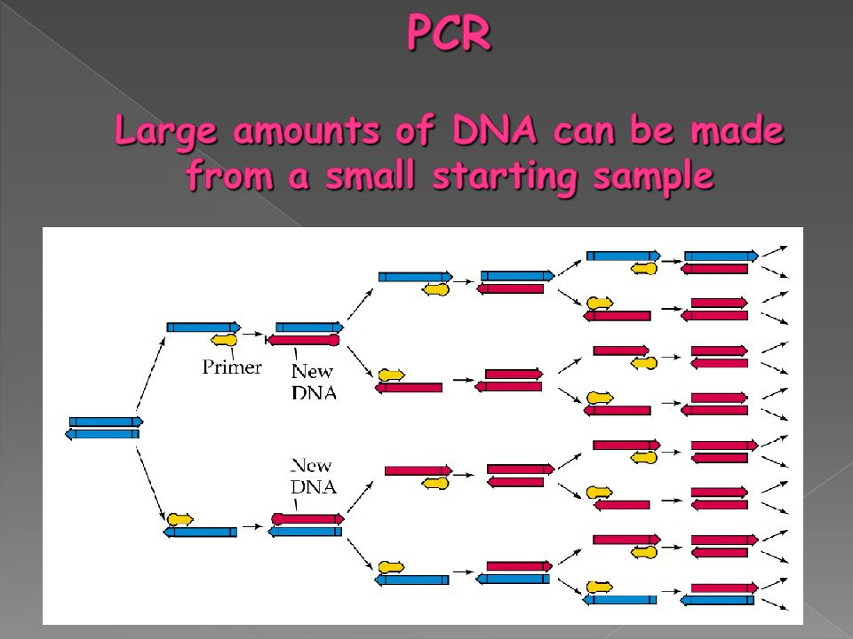 PCR Large amounts of DNA can be made from a small starting sample