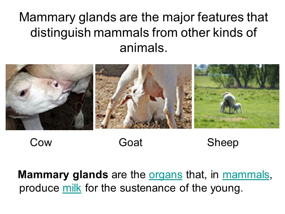 ANATOMY AND PHYSIOLOGY OF UDDER - ppt video online download