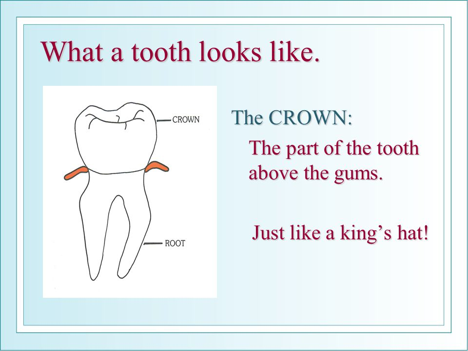What a tooth looks like. The CROWN: