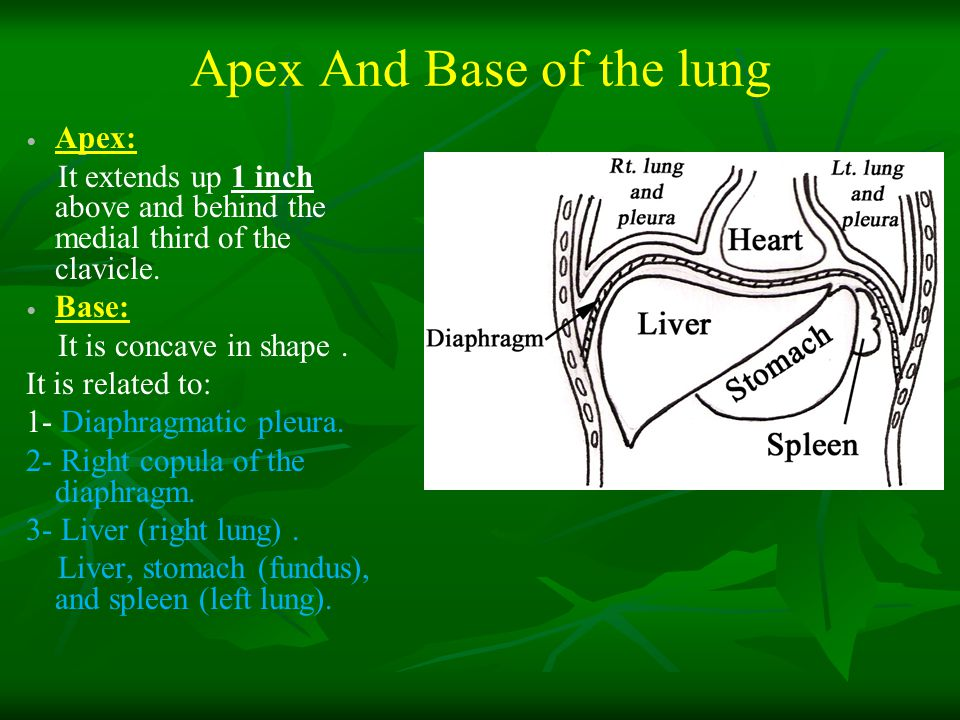 Apex And Base of the lung