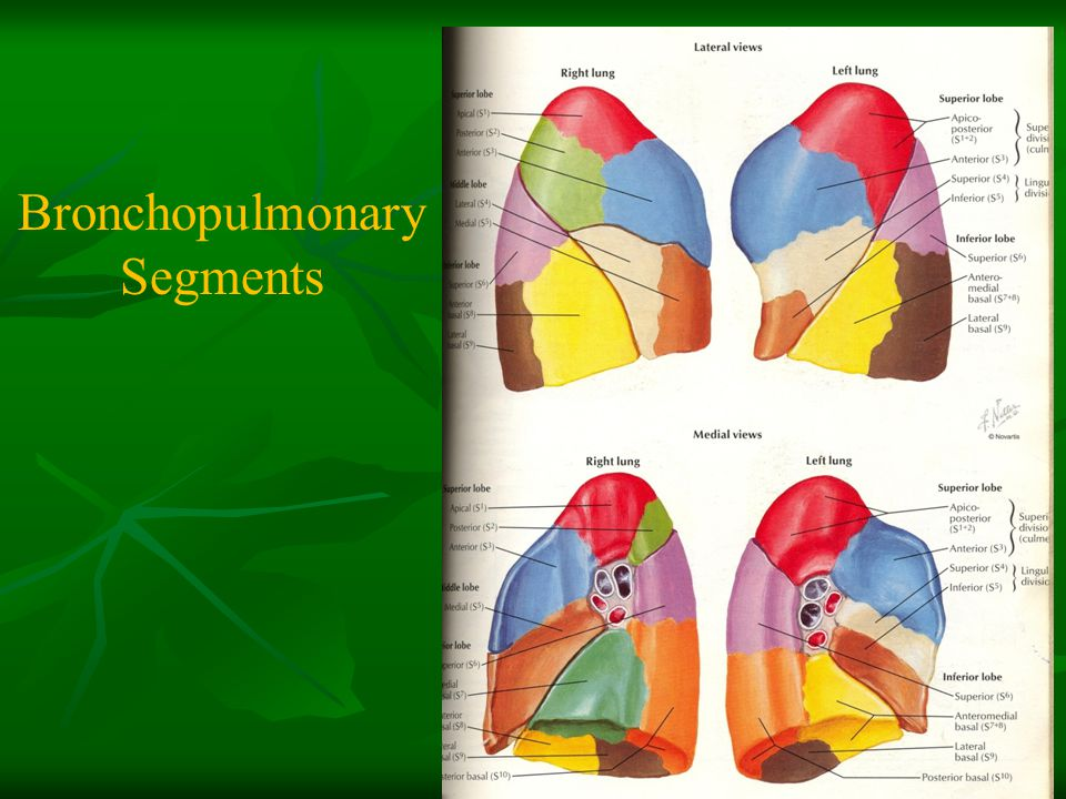 Bronchopulmonary Segments