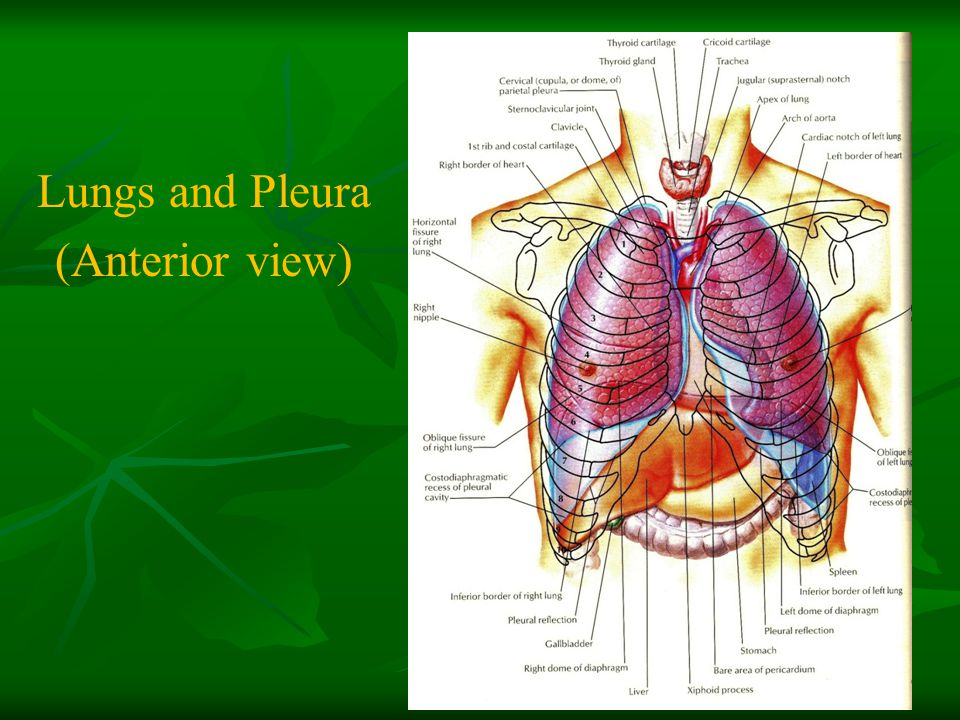 Lungs and Pleura (Anterior view)