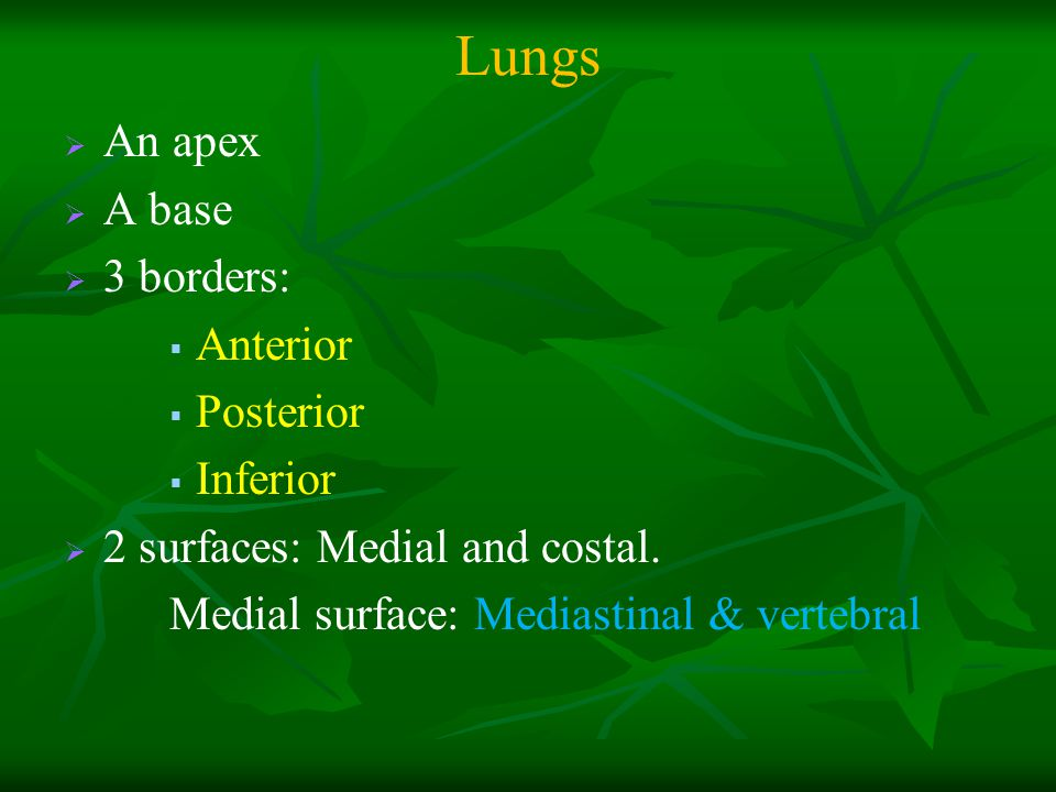 Lungs An apex A base 3 borders: Anterior Posterior Inferior