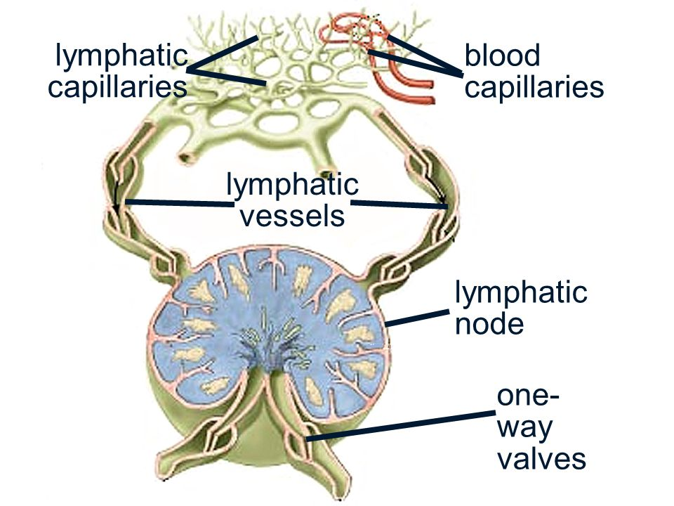 Lymphatic System Ch 22a Ppt Video Online Download