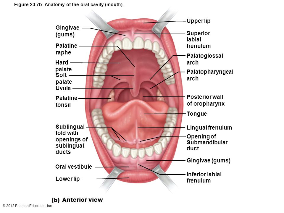 Dorable Anatomy Of The Mouth And Gums Motif - Anatomy And Physiology ...