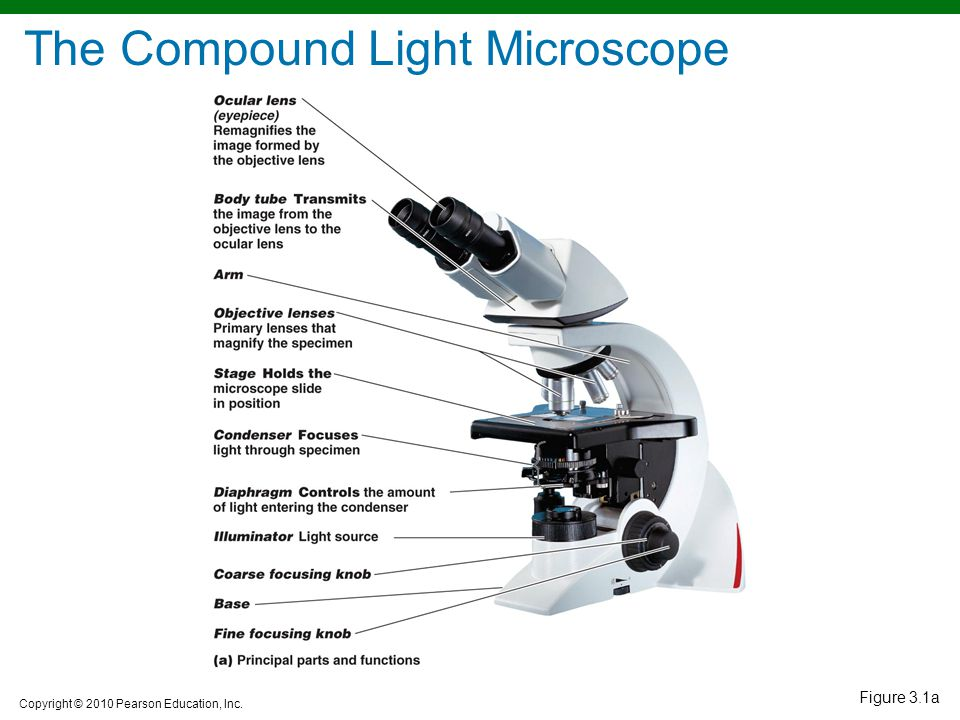 Observing microorganisms through a microscope ppt video online the compound light microscope ccuart Gallery