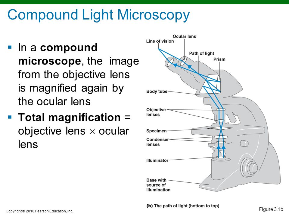 Observing microorganisms through a microscope ppt video online compound light microscopy ccuart Gallery