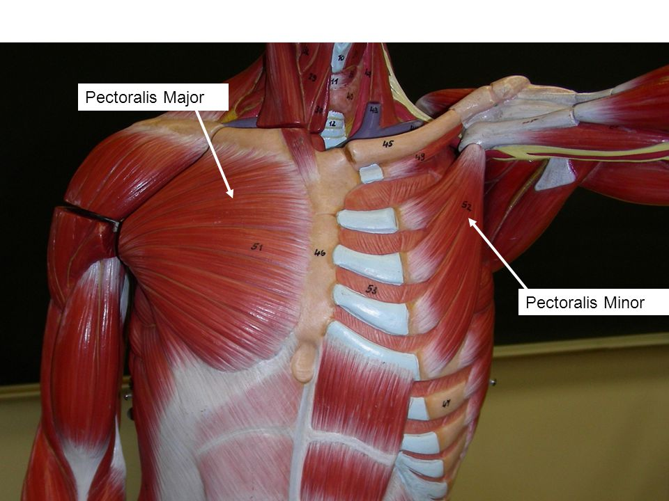 Human Chest Arm And Back Muscles Ppt Video Online Download