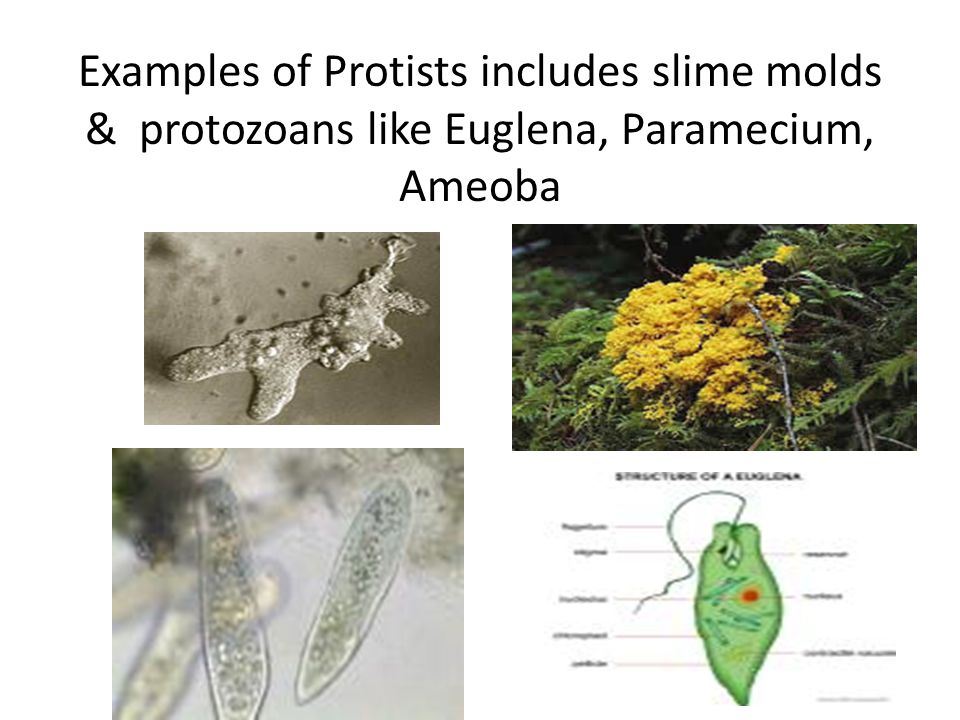 Examples of Protists includes slime molds & protozoans like Euglena, Paramecium, Ameoba