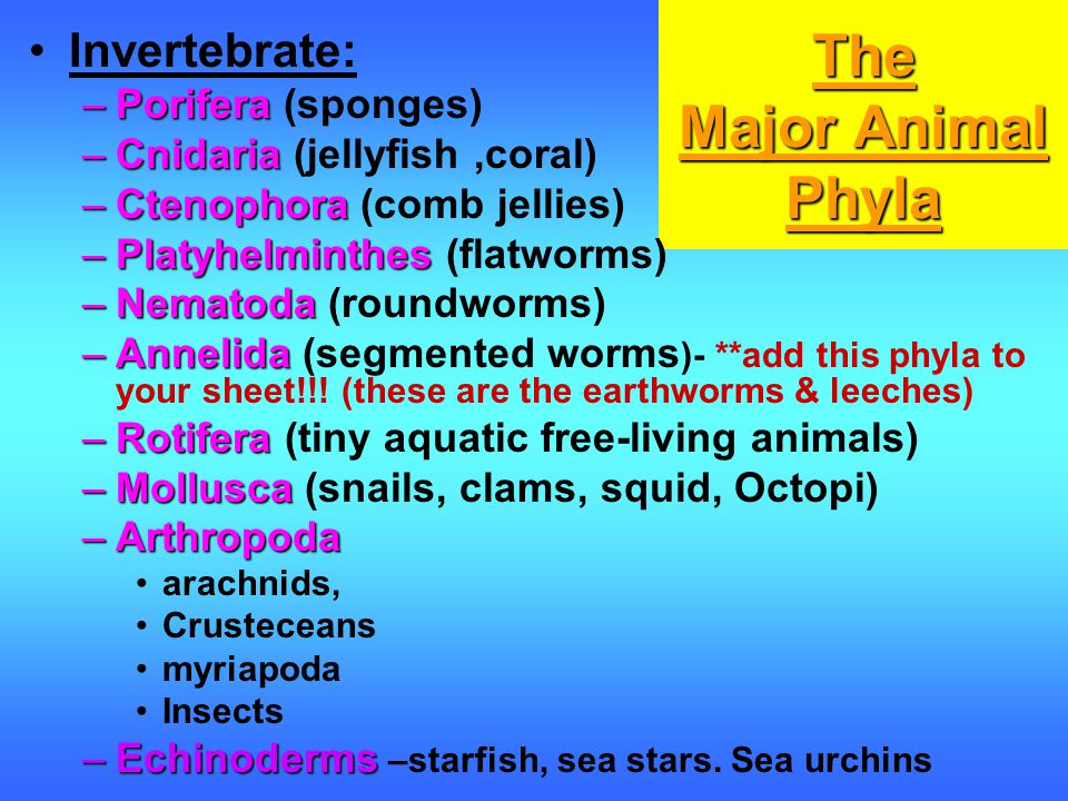 The Major Animal Phyla Invertebrate: Porifera (sponges)