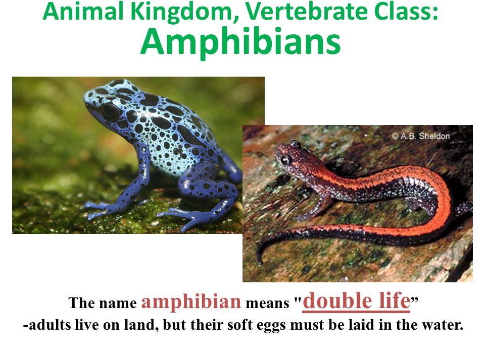 Animal Kingdom, Vertebrate Class: Amphibians